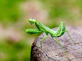 相逢大胆的小螳螂