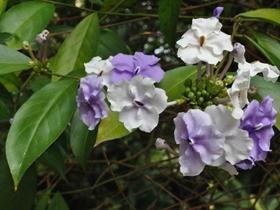 大花鴛鴦茉莉圖片