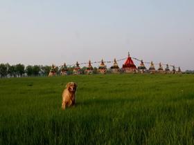 草場上的金毛犬