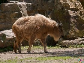 金毛羚牛图片