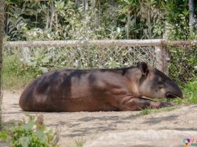 野生動物園貘