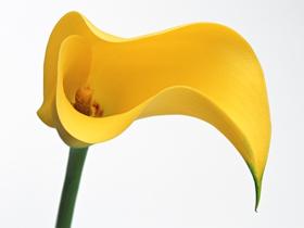 马蹄莲花朵图片