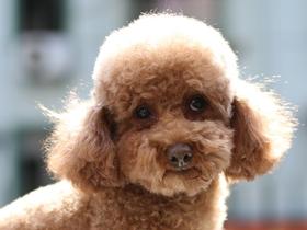 小可爱泰迪犬