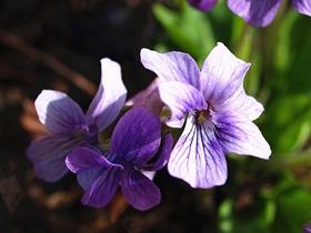 紫色地丁花图片