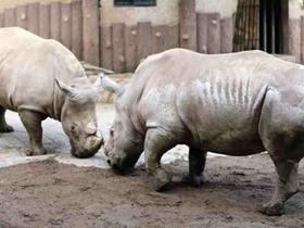 淘气的犀牛
