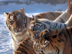 雪上东北虎