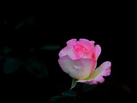 花中的皇后月季花