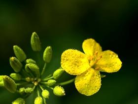 油菜花正黄