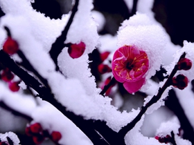 梅花欢喜漫天雪