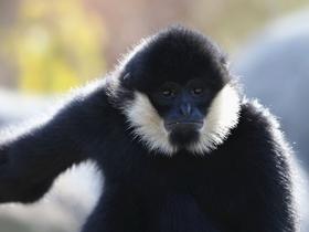 白颊长臂猿图片