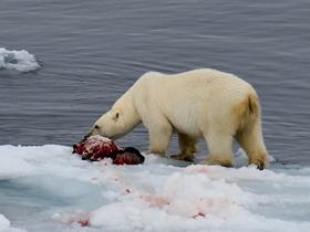 北极熊吃食