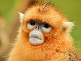 美丽的精灵金丝猴