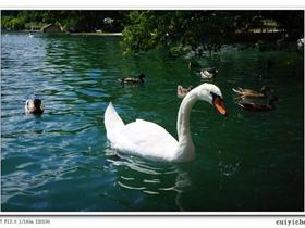 斯洛文尼亚白天鹅