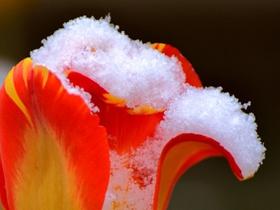雪后郁金香