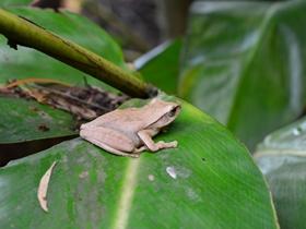 小树蛙的图片