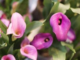 粉红色马蹄莲图