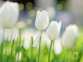 高清白色郁金香图片