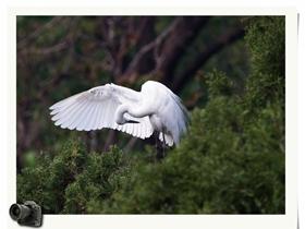 白鷺的春天