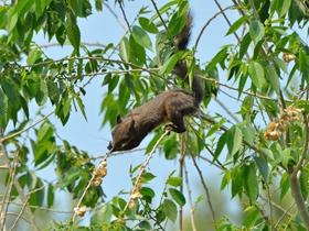 松鼠吃榆树花