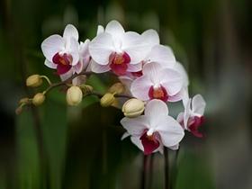 蝴蝶蘭的圖片