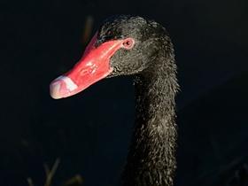 黑天鵝面面觀