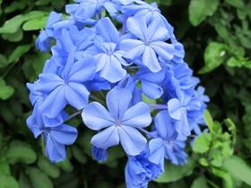 優雅藍雪花