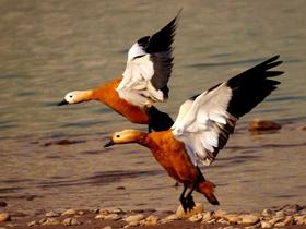 黄河畔的野鸭