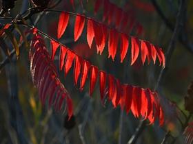 紅彤彤的火炬樹