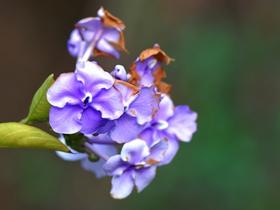 鴛鴦茉莉高清圖片