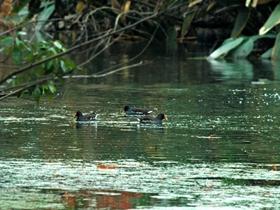南京梅花谷湿地拍水鸡
