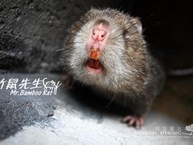 竹鼠先生图片