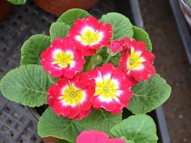 五彩斑斕報春花圖片