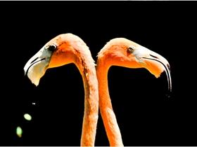 火烈鸟的爱