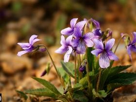紫花地丁开满地
