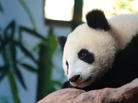 吸引人的熊猫