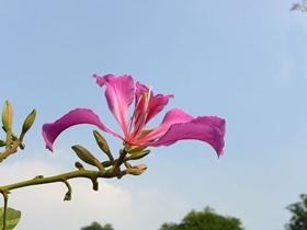 羊蹄甲紫荊花圖片