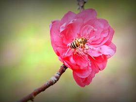 桃花盛开时