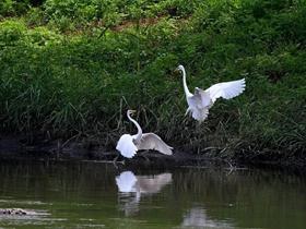 白鹭摄影图片
