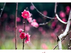 二月里的桃花红