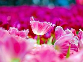 鲜艳的郁金香图片