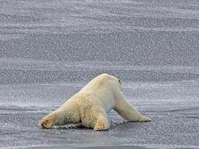 北極熊借腹部滑過薄冰