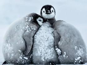 南极帝企鹅宝宝抵御暴风雪