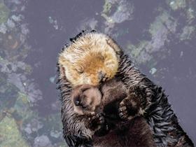 水獭宝宝躺妈妈肚皮上安睡