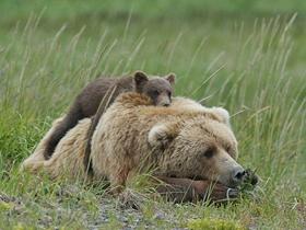 熊妈妈肩扛熊崽暖心瞬间