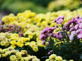 秋菊图片图片