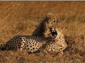 其乐融融的猎豹母子