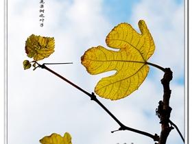 無花果樹的葉子圖片