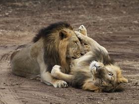 探访印度唯一的亚洲狮子