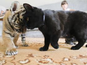 西伯利亚老虎幼崽与猫狗亲密无间