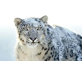天山雪豹图片